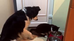 Funny Cat steals the dogs dinner and he is NOT happy. Very cute and very funny