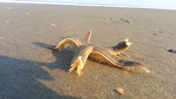 Starfish Walking on the Beach