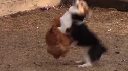Ozzy Man Reviews: Chook vs Corgi vs Duck